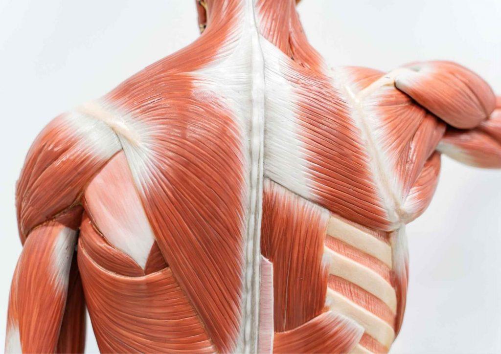 svaly chrbtice